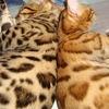 питомник Dinofelis,Бенгальские котята,кошки.Уфа