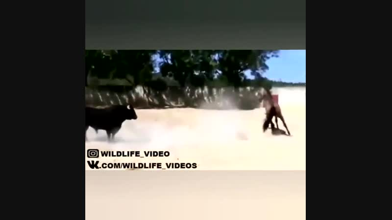Лошадь и бык