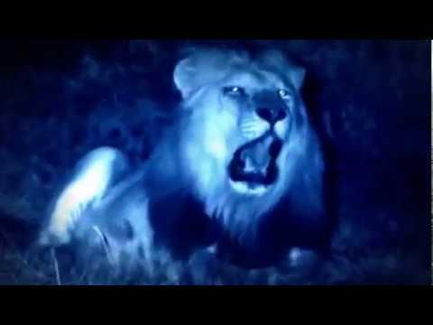Животные мира Прерии Африки Враг буйвола Право голоса Высокий ранг Грубая сила Атака льва Хозяин
