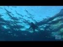 Дельфины, люди и акулы