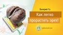 Валерий Го Как легко прорастить орех
