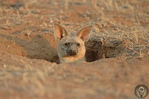 КОГДА-НИБУДЬ ВИДЕЛИ ЗЕМЛЯНЫХ ВОЛКОВ, ЖИВУЩИХ В НОРАХ А ОНИ ЕСТЬ. Когда-нибудь слышали про земляного волка Может быть, и слышали, но точно не видели. А если и не слышали, и не видели, то