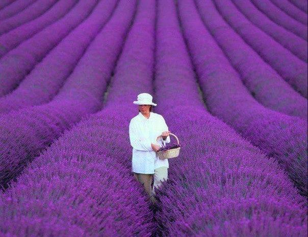 Джэси Купер занимается разработкой полей лаванды по Франции