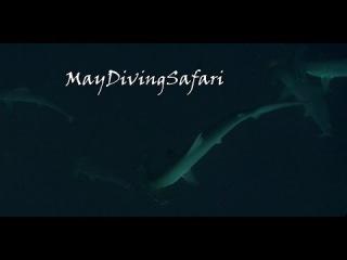 Хаммеры на Дедалусе. Акулы Красного моря.