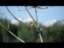 Речной сверчок (лат. Locustella fluviatilis)