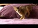 Discovery про Абиссинскую кошку