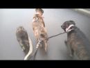 псы войны или как три собаки с одним человеком вместе гуляют