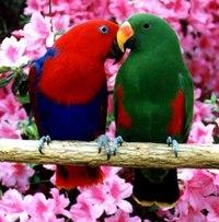 Благородные попугаи относятся к подсемейству настоящих попугаев Psittacinae.  Для вида характерно резкое различие в...