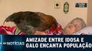 Amizade entre idosa e galo chama atenção de todos | SBT Notícias (23/12/18)