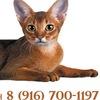 Абиссинские кошки и кошки породы пиксибоб
