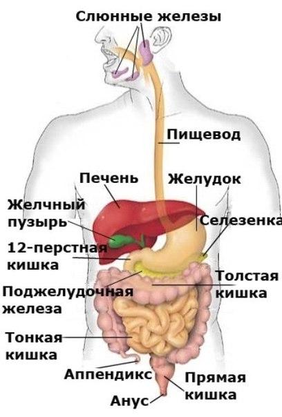 фото органов человека что где находится