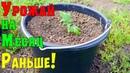 ПОМИДОРЫ В ВЕДРАХ Выращивание томатов в ведрах