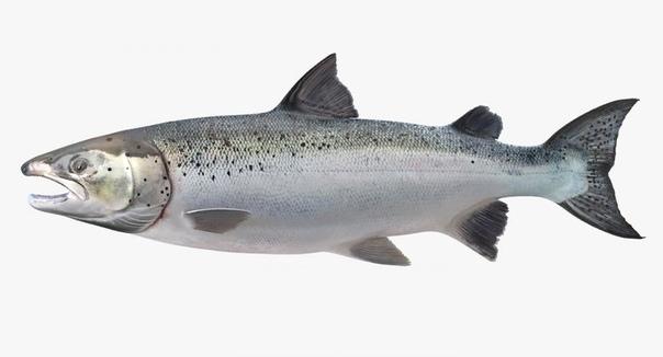 Разница между лососем и семгой