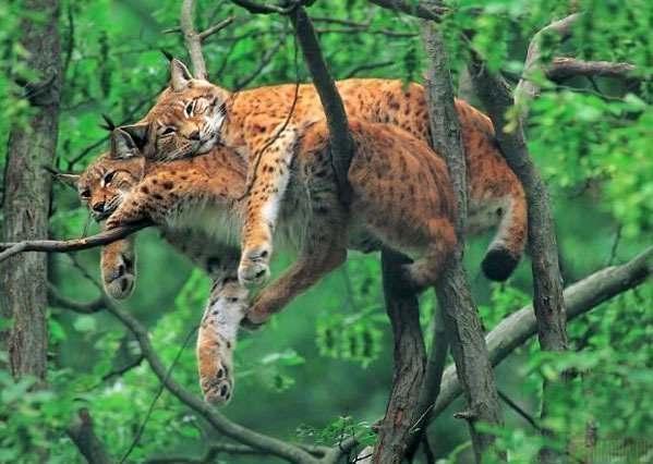 Дикие кошки в джунглях, Республика Конго.