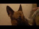 Собака выполняет команды  Хохма!