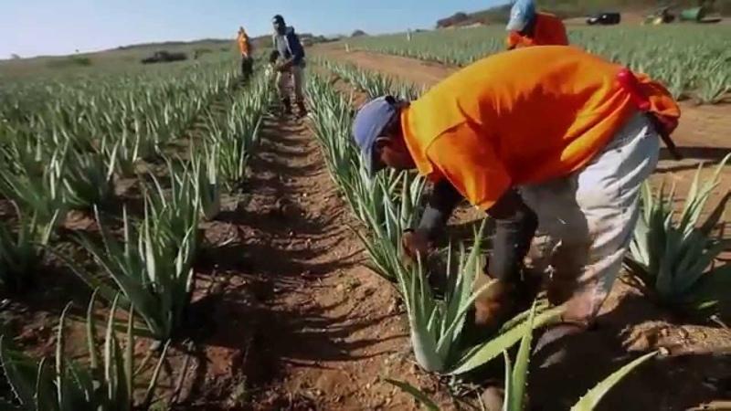 Выращивание и сбор алоэ-вера на полях Forever Living