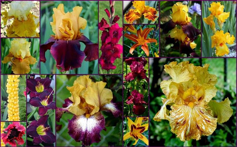 Сочетание ирисов с другими цветами