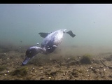 Tufted Duck, Mallard &amp Swan Underwater