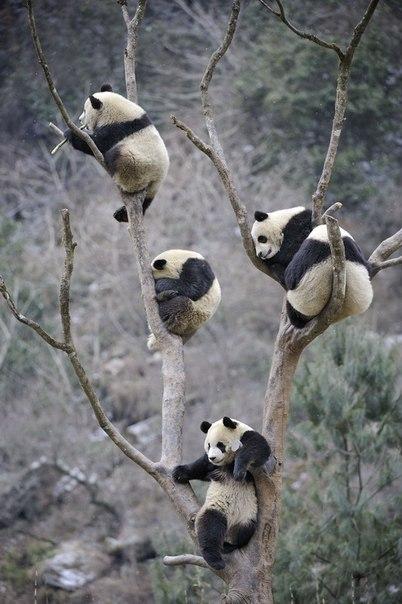 Панды прилетели!
