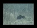 Медведь разорвал кабана