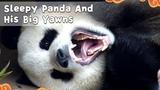Sleepy Panda And His Big Yawns iPanda