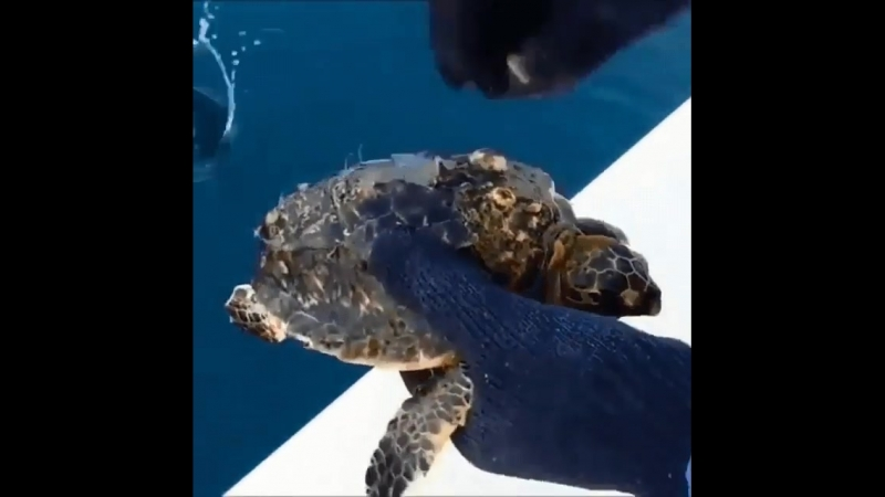 Bro removes Barnacles and Parasites attached to Sea Turtle