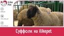 Овцы породы СУФФОЛК Особенности уход