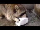Racoon Gets Sad when His Cotton Candy Dissolves in Water