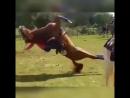 Лошадь-борец