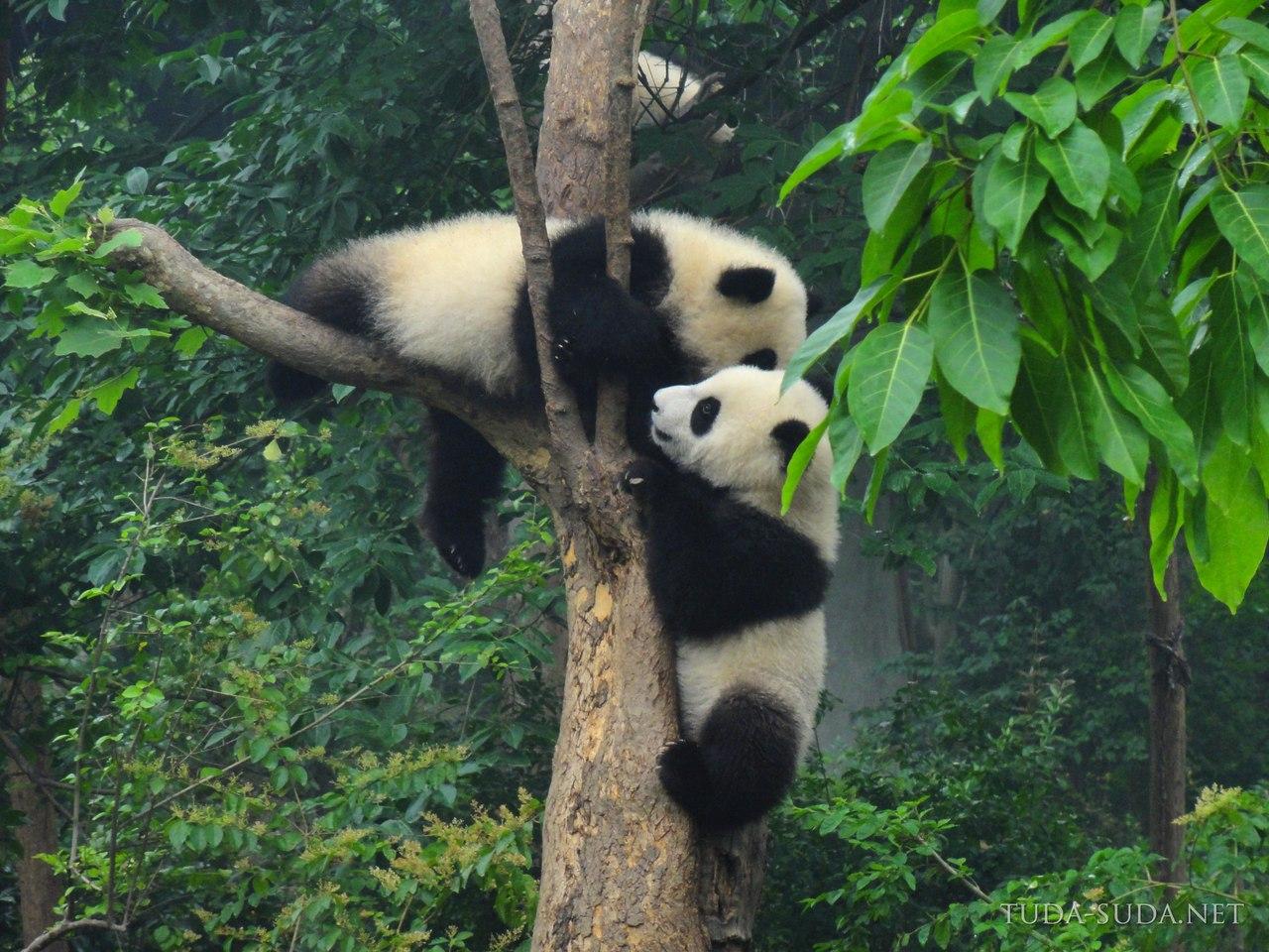Панды в Чэнду