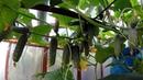 Огурцы. Первый опыт выращивания с подоконника.
