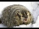 Badger Барсук Вылазка клан Волки
