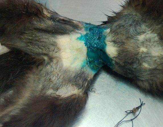 Защитники животных в Бресте спасали кота, стянутого проволокой
