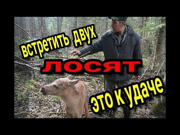 Встретили двух лосят Ночёвка в лесу