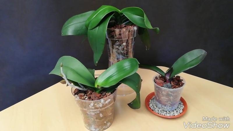 Recuperar Orquídeas: Resultado del Trasplante de Orquídeas Phalaenopsis después de cinco meses (2/2)