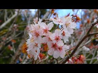 花開阿里山 - Alishan flowers