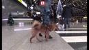 Аэрофлот зарегистрировал группу своих служебных собак породы шалайка