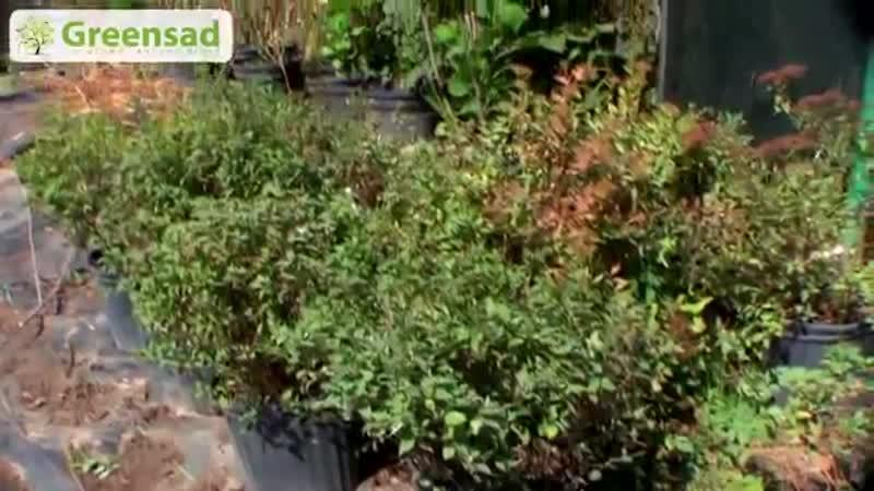 Надо обрезать спирею летнего цветения Школа цветоводства и садоводства