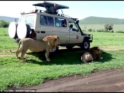 South African tourist tries to caress a lion in his car and gets attacked