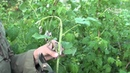 Почему вянут побеги малины Малинная муха. Сайт Садовый мир