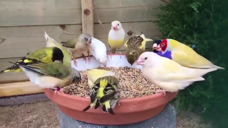 Птички цветные, а горошины простые
