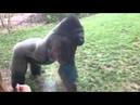 A Força de Um Gorila