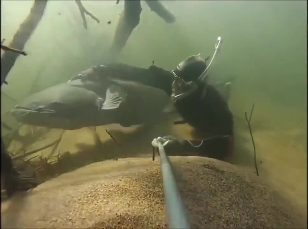 Swimming with catfish