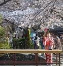 Любоваться цветением сливы, вишни и других растений – древняя традиция японцев…