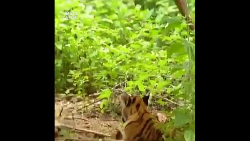 Гиббон троллит тигров