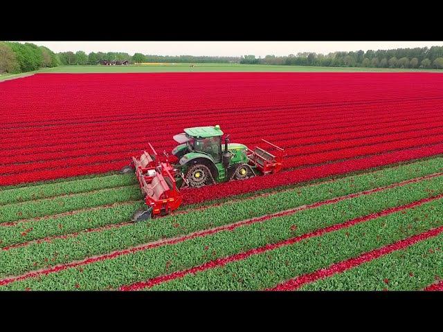 Как выращивают цветы в голландии