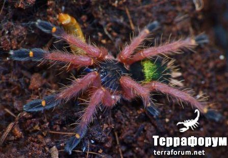 Ephebopus cyanognatus