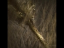 Чужой: Завет - Существо в пшенице 2