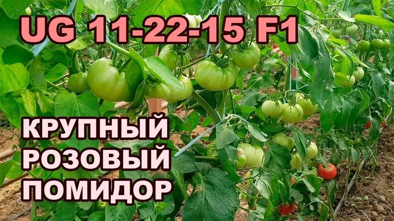 UG 11-22-15 F1 - КРУПНЫЙ РОЗОВЫЙ ПОМИДОР (01-10-2018)