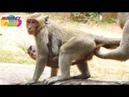 Little monkey DyDy catch Brutus Jr so long Jill follow him but no chance get back Monkey Daily 828